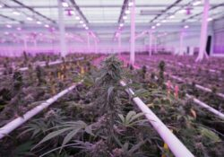 Automation And Artificial Intelligence Revolutionize The Cannabis Industry
